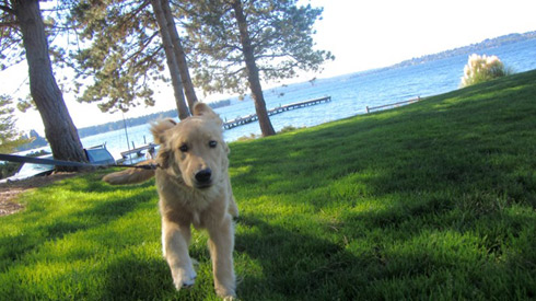 Retrievers, Sniff Seattle, Kirkland Dog Walkers