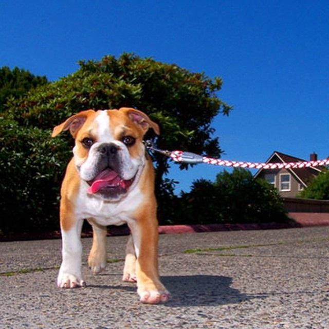 Bulldog, Hoboken Dog Walker